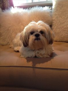 """Get wonderful recommendations on """"shih tzu pups"""". They are available for you on our site. Shitzu Puppies, Baby Puppies, Cute Puppies, Dogs And Puppies, Cute Dogs, Doggies, Perro Shih Tzu, Shih Tzu Puppy, Shih Tzus"""
