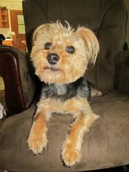 Zani is an adoptable Yorkshire Terrier Yorkie Dog in Waseca, MN. Zani is a 6 year old Snorkie (Minature Schnauzer/Yorkie Mix).�� She likes to go for walks sit on your lap or next to you.� Zani likes t...