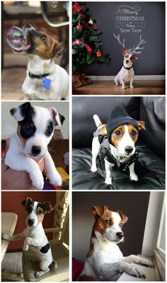 20 Jack Russell Terrier Dogs Photos You Will Love Jack Russell Terrier, Terrier Dogs, Boston Terrier, Rat Terriers, Baby Animals, Cute Animals, Family Dogs, Dog Photos, Beautiful Dogs