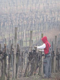 Vines being pruned outside Vienna Vienna, The Outsiders, Painting, Art, Art Background, Painting Art, Kunst, Paintings, Performing Arts