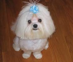 cute Maltese haircut. This is Winnie, little furgirl of Janet.