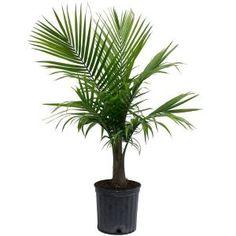 Live majesty palm plant pottery barn feng shui, trees to plant, palm plant Indoor Palm Trees, Indoor Palms, Indoor Outdoor, Plants Indoor, Indoor Gardening, Palm Plants, Potted Plants, Outdoor Plants, Hanging Plants