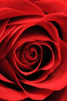 Blood Red Rose -- See Board for oter extraordinarg flower/garden photos