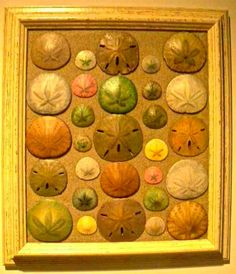 Sand dollars in a frame