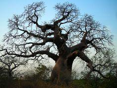 senegal baobab tree