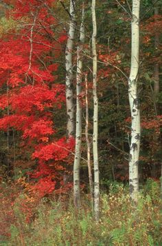 ✮ Maple and the Birch; Source: http://fineartamerica.com/featured/maple-and-the-birch-raju-alagawadi.html