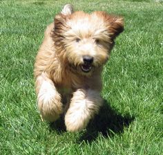 Wheaten terriers have the most glorious coats and energetic natures.
