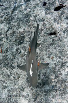 Shark, Bora Bora