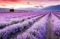 Amazing Lavender Field | Evgeni Dinev Photography