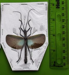 Blue Grey Winged Stick Bug Orthomeria versicolor Spread Male Phasmid FAST SHIP