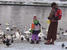 #animals #swan #ducks #pigeon #animalfeeding #natureincity #kraków #poland #latergram #child #mother #childhood Krakow, Pigeon, Ducks, Swan, Poland, Childhood, Children, Animals, Instagram