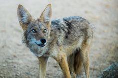 Desert Coyote   Flickr - Photo Sharing!