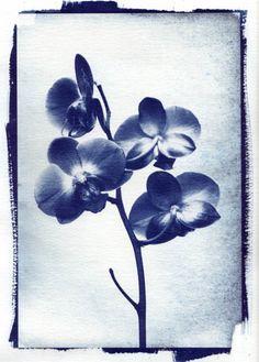 Beverley Evans / Orchid 1 © / Cyanotype