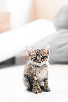 Blue Eyed Kitten - Shelby Young Photography on Fine Art America