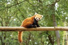 red panda on a bamboo by maxfromhell via http://ift.tt/2rIdzpv