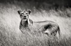 lion Lion, Horses, Animals, Leo, Animales, Animaux, Lions, Animal, Animais
