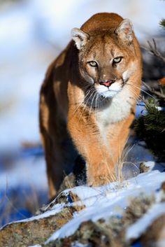 Пума - Puma (Mountain Lion) https://plus.google.com/+GillesJOYEUXCreuse/posts/UJikj1pHvJq