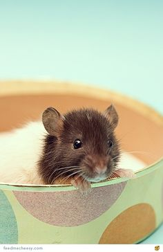 This baby rat is the cutest thing I am going to see this week.                                                                                                                                                                                 Plus