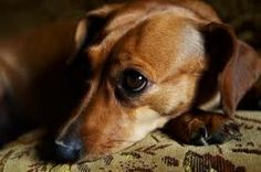 Holistic Treatment for Cushing�s Disease in Dogs | Herbal and homeopathic remedies are a gentle, yet safe natural alternative for the treatment of your pet�s adrenal health. Read More of This Article Here: http://www.holisticpetcare.info/holistic-treatment-for-cushings-disease-in-dogs/