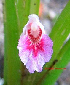 Chinese Ginger Flower (Boesenbergia rotunda)
