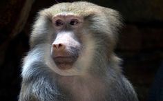 Hamadryas Baboon  (Nine Lucky Baboons Go from Testing Cage to Sanctuary)