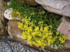 "BLOOM TIME: Spring - All Summer HARDINESS ZONE: 3 - 8 PLANT HEIGHT: 2 - 3"" . . . PLANT SPACING: 9 - 12"" LIGHT REQUIREMENTS: Sun - Part Shade . . . SOIL / WATER: Average - Dry Sedum is an excellent choice for borders, rock gardens, or as a groundcover. They are a succulent, and tolerate dryness and heat. Sedum is not picky about the soil it will grow in and will tolerate just about any soil or sand."