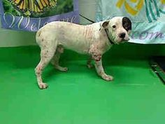 URGENT!! This DOG - ID#A425988 (Moreno Valley, CA) male, white and black Pit Bull Terrier mix. The shelter thinks I am about 3 years old. I have been at the shelter since Jul 30, 2013 and I may be available for adoption on Aug 07, 2013 at 3:23PM  http://www.petharbor.com/pet.asp?uaid=MRVL.A425988  For more information about this animal, call: Moreno Valley Animal Services at (951) 413-3790  https://www.facebook.com/photo.php?fbid=217870978367696=a.136023899885738.29276.135559229932205=1=nf