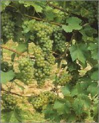 Deutsche Weine | Rebsorte Faberrebe |