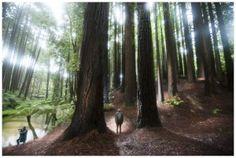 Redwoods in the Otway ranges.