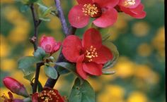 10 Drought-tolerant Shrubs   Fine Gardening