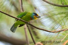 Taiwan Barbet ( 台灣擬啄木 ) - Endemic Subspecies, Taiwan, photo by Nelson Khor