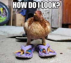 we think that apart from all the fun facts here you also enjoyed the various funny pictures of chickens in this article.chickens are always great with such beautiful characteristics and features that they carry in them. Funny Animal Photos, Funny Photos, Funny Animals, Cute Animals, Animal Pics, Funniest Pictures, Random Pictures, Amazing Pictures, Funny Images
