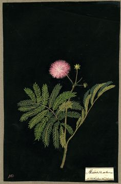 Sensitive plant for yoni healing