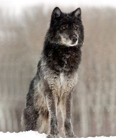 "beautiful-wildlife: "" The Sentinel by David Bolin Black Yellowstone wolf in winter. Wolf Images, Wolf Photos, Wolf Pictures, Anime Wolf, Beautiful Creatures, Animals Beautiful, Fotografia Pb, Yellowstone Wolves, Wolf Husky"