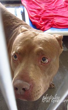 GONE --- A4566947 My name is Sharky. I am a 3 yr old male brown pit bull mix. My owner left me here on March 1. available now. located in bldg 4 - no public view NOTE: Bully breeds are not kept as long as others so these dogs are always urgent!!  Baldwin Park shelter https://www.facebook.com/photo.php?fbid=934280209917150&set=pb.100000055391837.-2207520000.1425718887.&type=3&theater