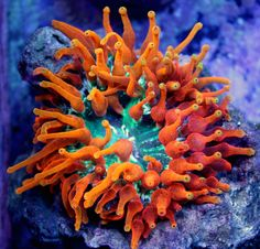 Inferno Bubble Tip Anemone