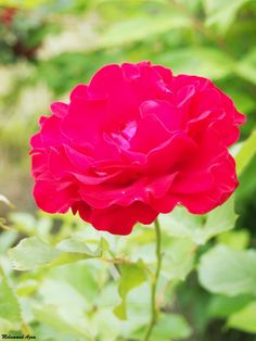 Red Rose 34 by Mohammad Azam