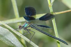 Gebänderte Prachtlibelle Bugs, Insects, Display, Photos, Animaux, Floor Space, Billboard, Beetle
