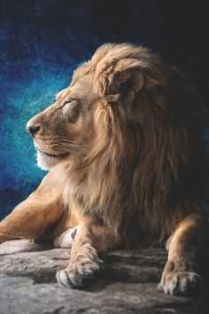 If you Love Lions You Must Check The Link In Our Bio Exclusive Lion Related Products on Sale for a Limited. Beautiful Cats, Animals Beautiful, Lion Tigre, Animals And Pets, Cute Animals, Sleeping Lion, Lions Photos, Lion And Lioness, Lion Love