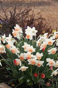 Daffodil Pictures - National Garden Bureau Summer Bulbs, Spring Flowers, Spring Garden, Garden, Bulb, Daffodils, Bulb Flowers, Perennials, Longfield Gardens