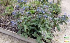 bourrache officinale fleur utile Potager Bio, Backyard, Patio, Vegetable Garden, Dire, Vegetables, Voici, Nature, Gardening
