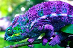 Panther Chameleon                                                                                                                                                      More