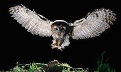 owls - Google zoeken