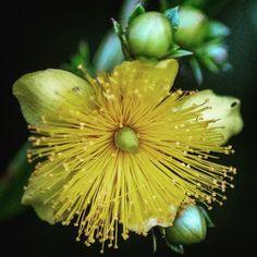 #yellow #flower #macro #backyard #weed