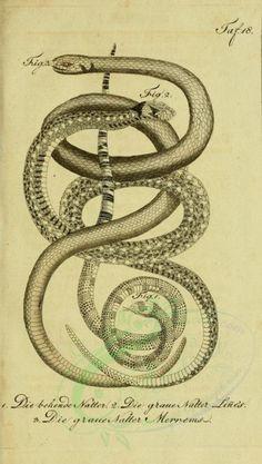Herrn De La Cepedes for The Ernst Mayr Library Science Illustration, Nature Illustration, Antique Illustration, Botanical Illustration, Reptiles, Insect Art, Vintage School, Botanical Drawings, Zoology