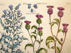 thistle botanical drawing - Google Search