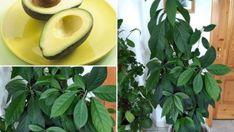 14 dolog, amit nem tudtál a dézsás citrusfélékről   Hobbikert Magazin Vegetables, Garden, Plants, Garten, Lawn And Garden, Vegetable Recipes, Gardens, Plant, Gardening