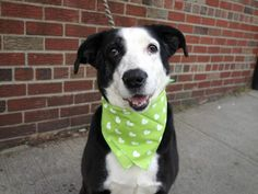 My name is SOXY. My Animal ID # is A0991732.