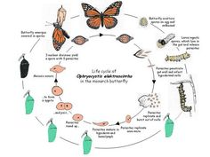 Monarchs and Queen's carry the Oe protozoa in their gut, as they mature a parasite is released negatively effecting their development and health. For breeders, this is a great article to help identify if your stock is infected and how to sample for parasites.