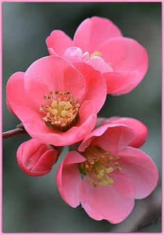 """Flowering Quince (Chaenomeles superba) """"Pink Lady""""."""